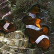 clown anemonefish can be seen on our shores!